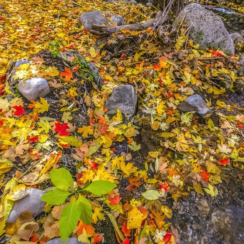 Vibrant leaves on a rocky ground in Salt lake City. Vibrant red and yellow leaves on a rocky ground lit by sunlight in Salt lake City, Utah. Scenic landscape royalty free stock photos