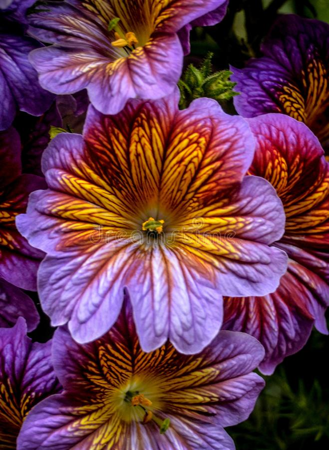 Royal Flower. A vibrant multicolored flower seen at Chicago Botanic Garden stock image