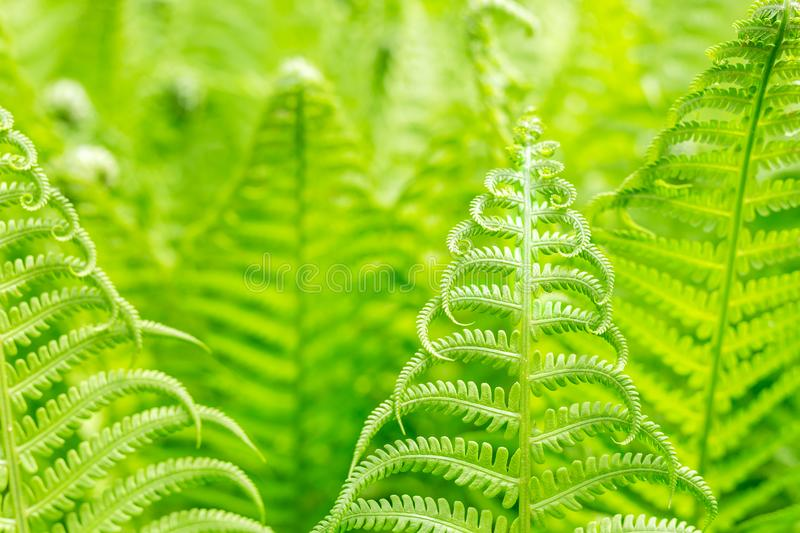 Vibrant natural green fern texture pattern. Beautiful tropical forest or jungle foliage background. Fresh spring foliage stock photography