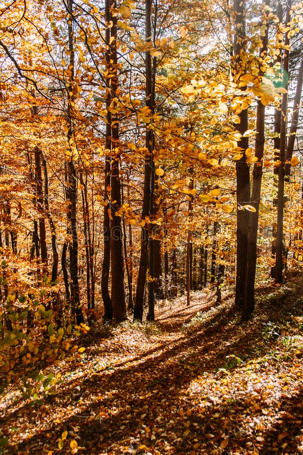 Vibrant orange autumn forest vertical natural background. Yellow leaves and trees in the autumn stock images