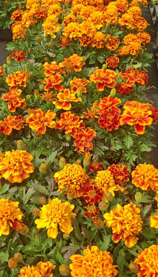 Vibrant orange French Marigold flowers. A field of vibrant orange French Marigold flowers in bloom during summer stock photography