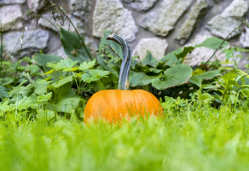Vibrant orange pumpkin sitting in tall green grass with foliage royalty free stock image