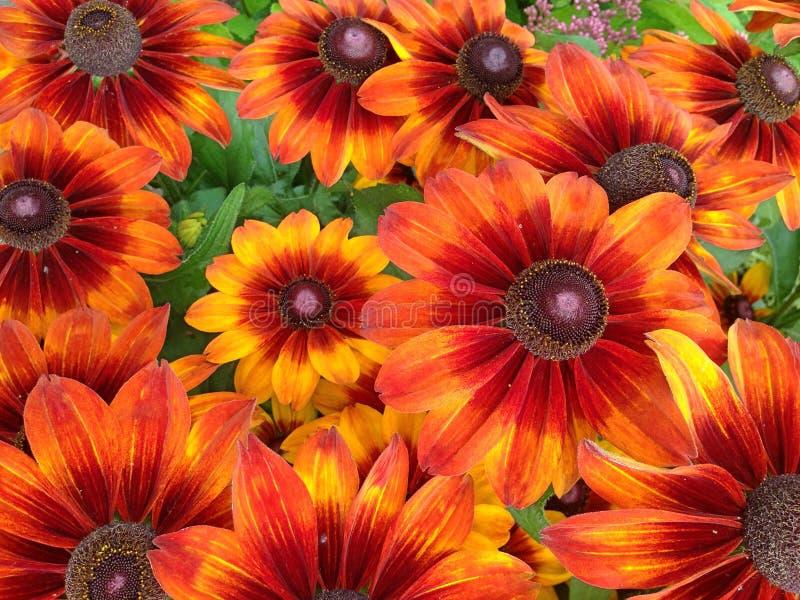 Vibrant orange and red Rudbeckia Summerina flowers royalty free stock photo