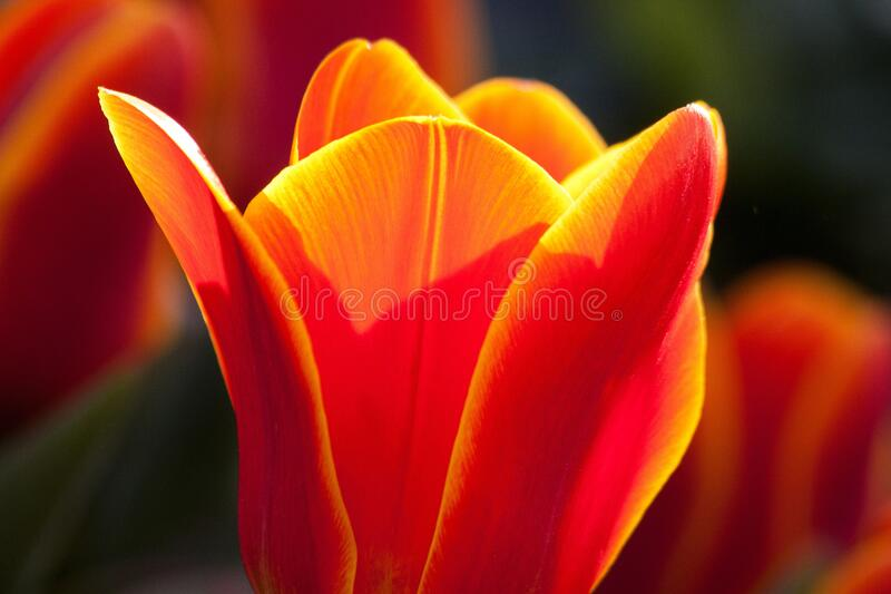 Vibrant orange and yellow colored tulip royalty free stock photos