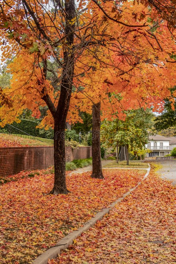 Vibrant orange and yellow trees in autumn with ground covered in leaves in upscale nieghborhood stock images
