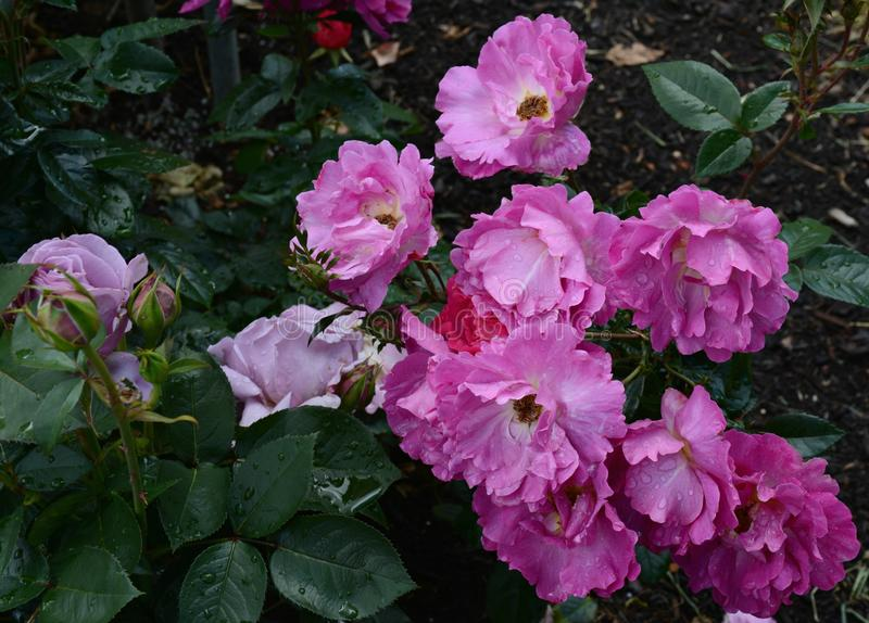 Vibrant Color In Spring Rose Blossoms. Vibrant peak color of spring rose blossoms and green foliage, at the International Rose Test Garden in Portland, Oregon stock images