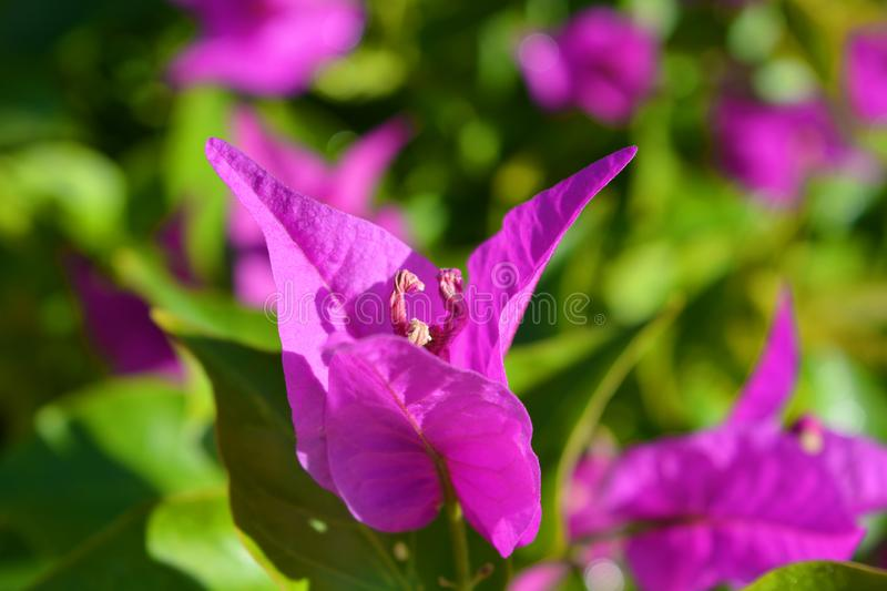 Vibrant pink bracts of a bougainvillea plant royalty free stock photo
