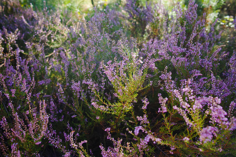 Vibrant pink common heather (Calluna vulgaris) blossoming outdoors. royalty free stock photo
