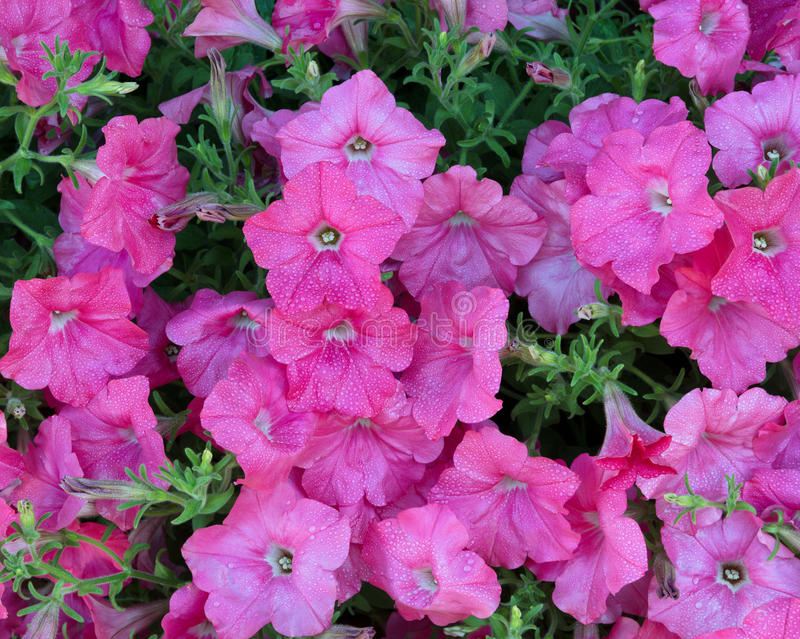 Vibrant pink flowers in full bloom with morning dew royalty free stock photography