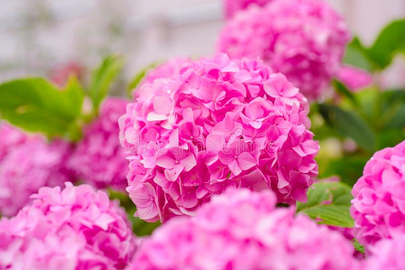 Vibrant pink. Hydrangea blossom on sunny day. Pink hydrangea in full bloom. Flowering hortensia plant. Blossoming. Flowers in summer garden. Showy flowers in stock image