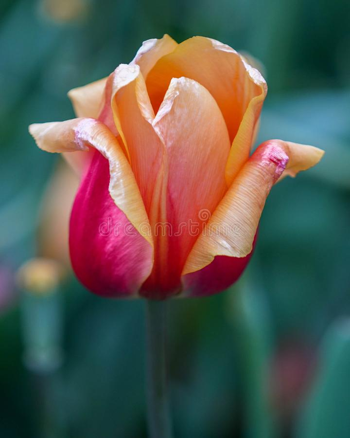 Shimmering Pink and Peach Tulip with dark green background, closeup royalty free stock photography