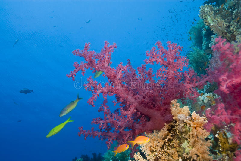Vibrant pink soft coral on a tropical reef. stock photo