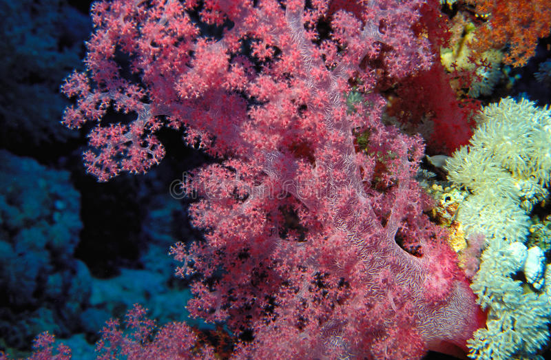 Vibrant pink tree coral stock photo