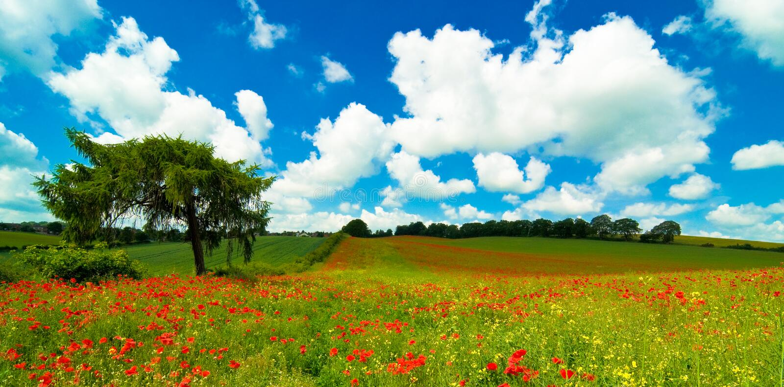 Vibrant Poppy Field royalty free stock images