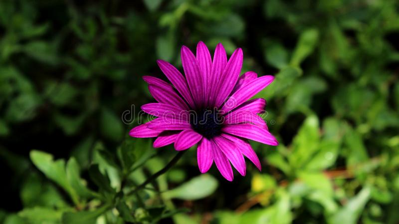 Vibrant Purple Aster Flower stock photos