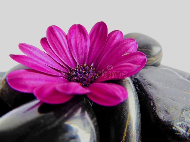 vibrant purple Cape Marguerite Daisy flower with shiny black stones stock image