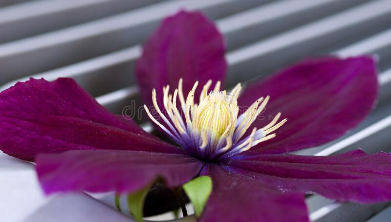 Vibrant Purple Clematis Macro. Saturated, velvety, purple Clematis blossom macro with striking creamy center royalty free stock photo