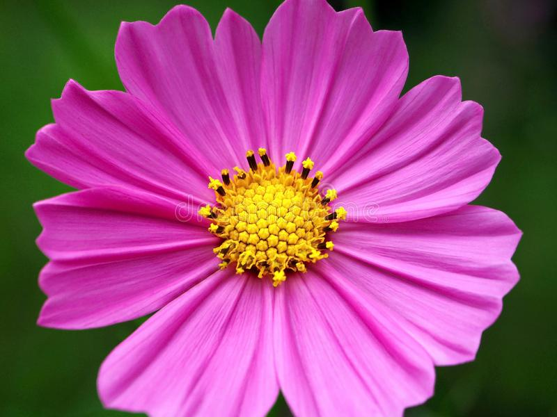 Vibrant Purple Flower and its Stamen and Pistil stock photos