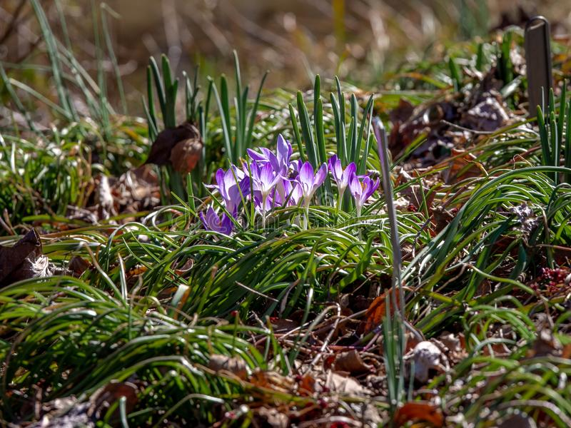 Vibrant Purple Flowers on Forest Floor stock images