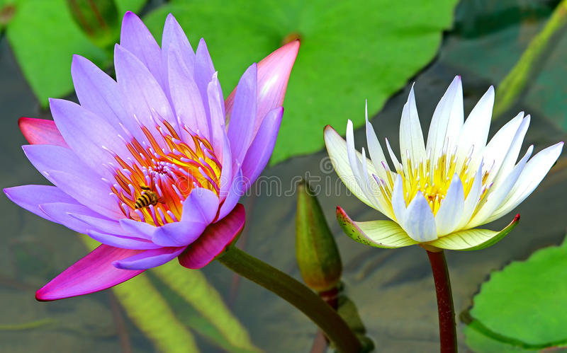 Vibrant purple and white water lily flowers. Close up of a vibrant purple and white water lilies with a busy honey bee royalty free stock images