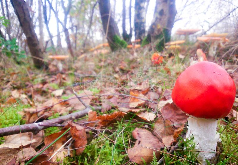 A vibrant red coloured mushroom growing on moss surrounded by fa stock photography