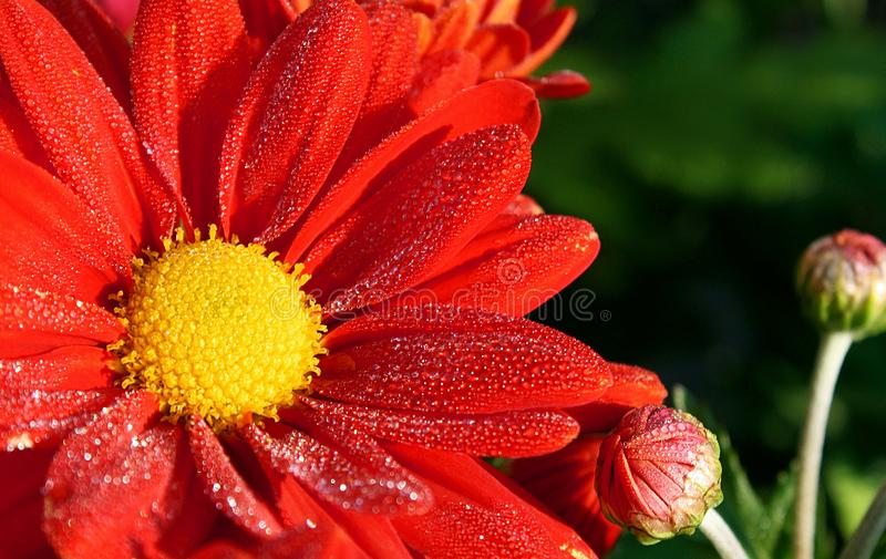 Vibrant red Daisy with bright yellow center. Soft dew on petals stock photos