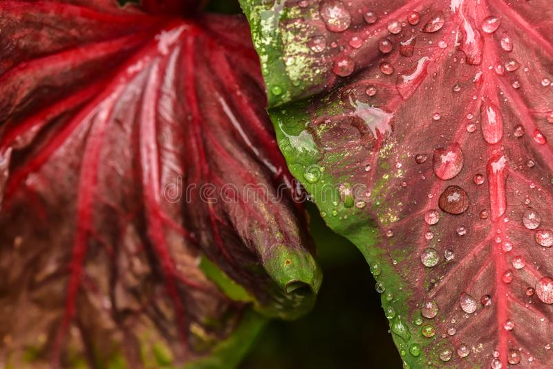Vibrant Red and Green Overlapping Leaves Covered by Morning Rain stock photos