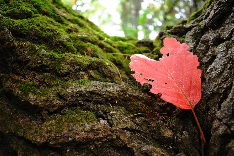 Vibrant red heart shaped leafe on a moss covered tree stock image