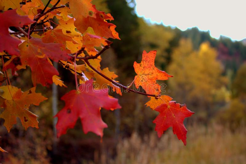 Vibrant Red and Orange Fall Maple Leaves royalty free stock photos