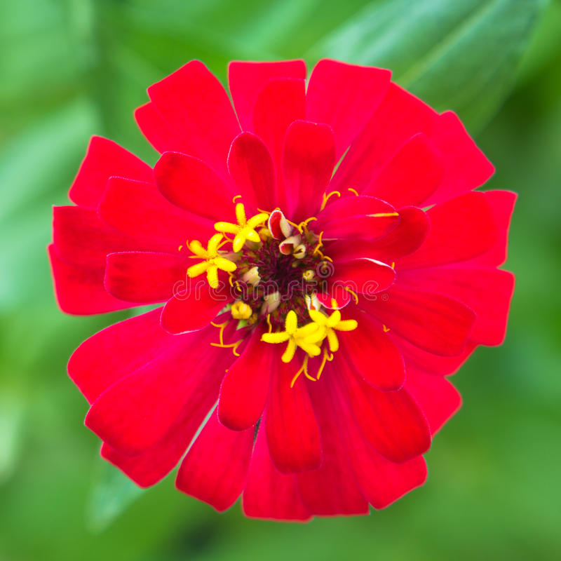 Download Vibrant red Zinnia elegans stock image. Image of bedding - 23040371