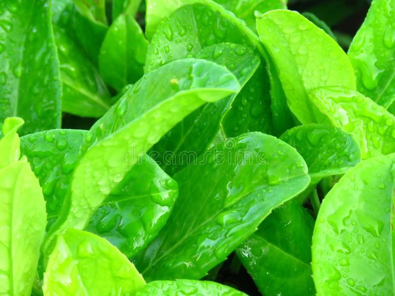 Vibrant shiny green leaves covered with water rain dew drops. royalty free stock photos