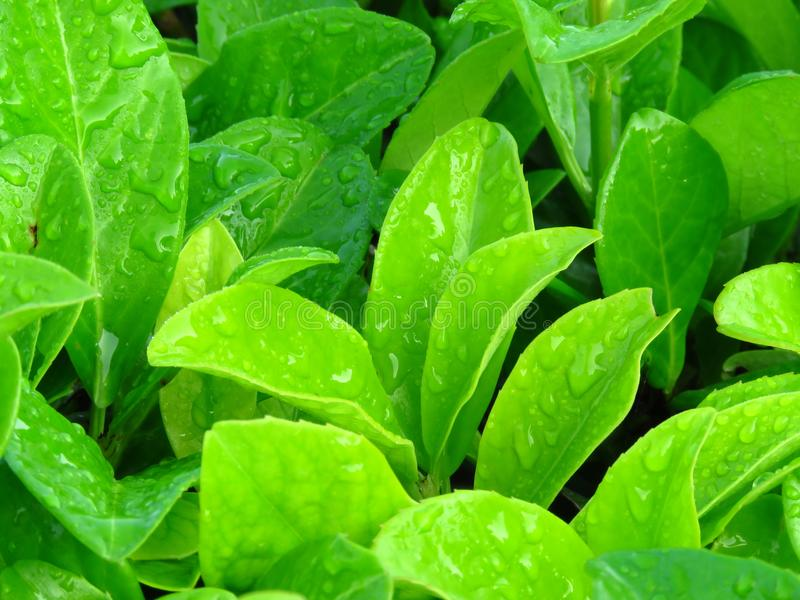Vibrant shiny green leaves covered with water rain dew drops. stock image