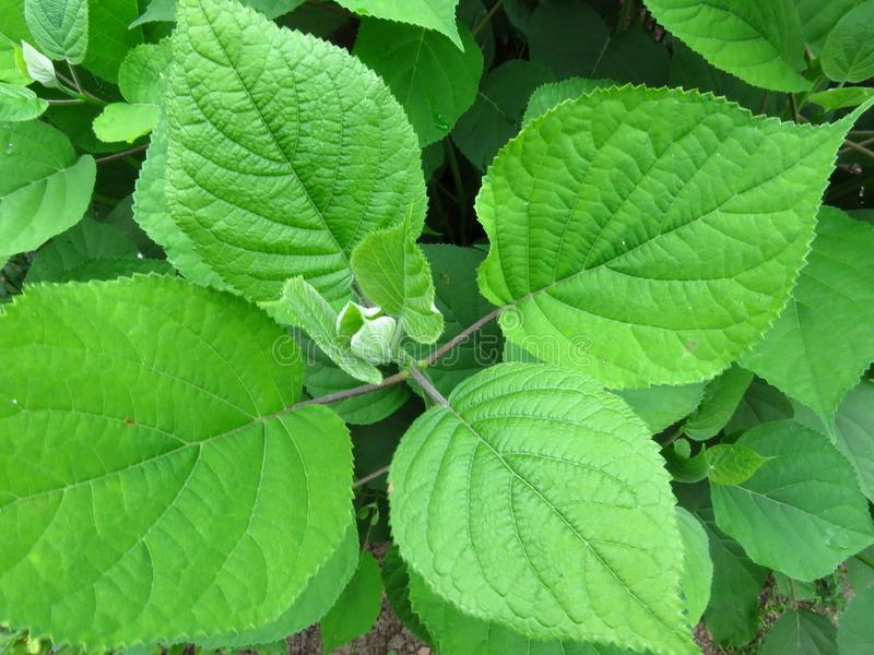 Vibrant shiny green tree bush shrub leaves. stock image