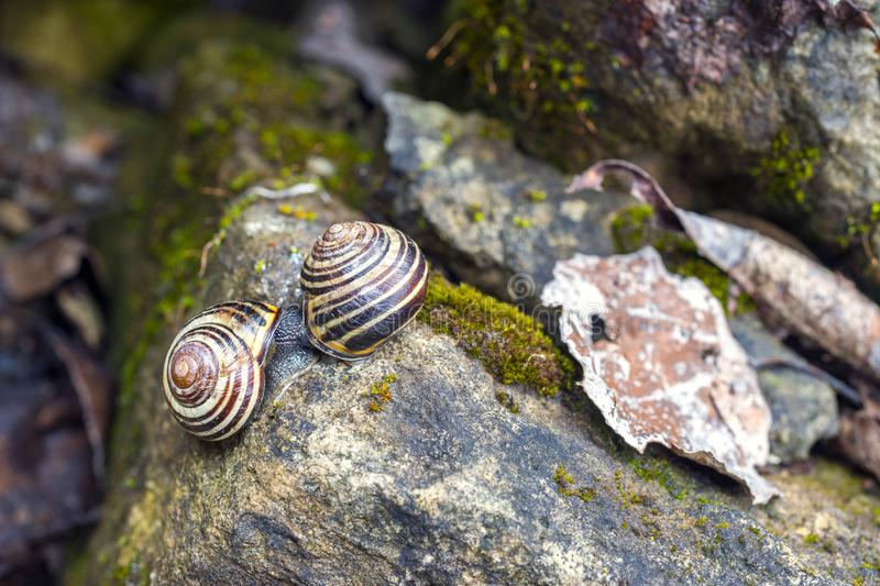 Vibrant spring macro scene of mossy garden rocks and two snails. Mating royalty free stock images