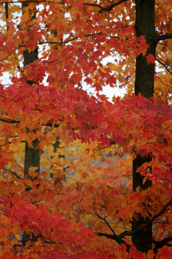 Free Vibrant Sugar Maples In Autumn Stock Photo - 44596320