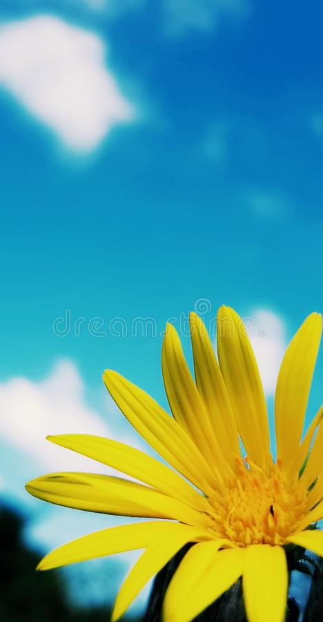 Vibrant Sunflower. Close-up of a vibrant yellow sunflower stock photography
