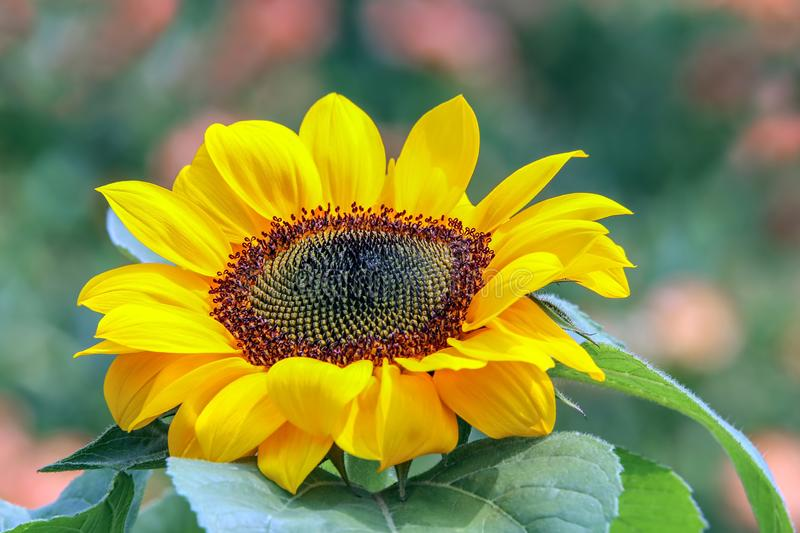 Vibrant sunny sunflower facing the sun in a garden. Beautiful and vibrant sunflower basking under the sun in a tropical spring garden royalty free stock photos