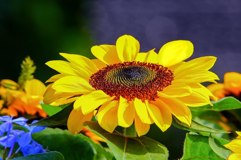 Vibrant sunny sunflower under the sun. Beautiful and vibrant sunflower basking under the sun in a tropical spring garden royalty free stock images
