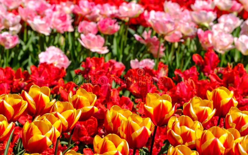 Vibrant tulips at Keukenhof Gardens, Lisse, South Holland. Photographed in HDR high dynamic range. stock photos