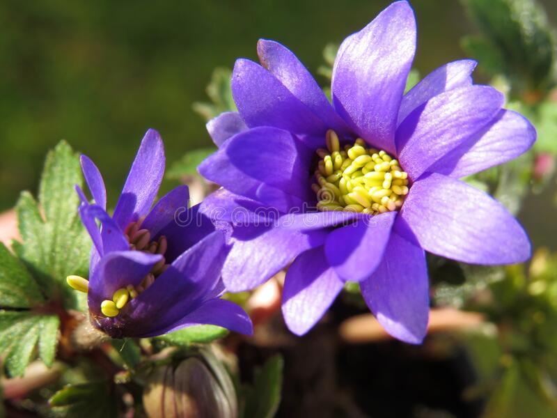 Vibrant violet anemone blanda macro fotografie stock