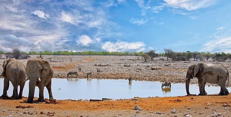 Vibrant waterhole in Etosha with elephants, oryx and zebra against a blue cloudy sky. Okaukeujo waterhole with many differnet varities of animals taking a drink stock photo