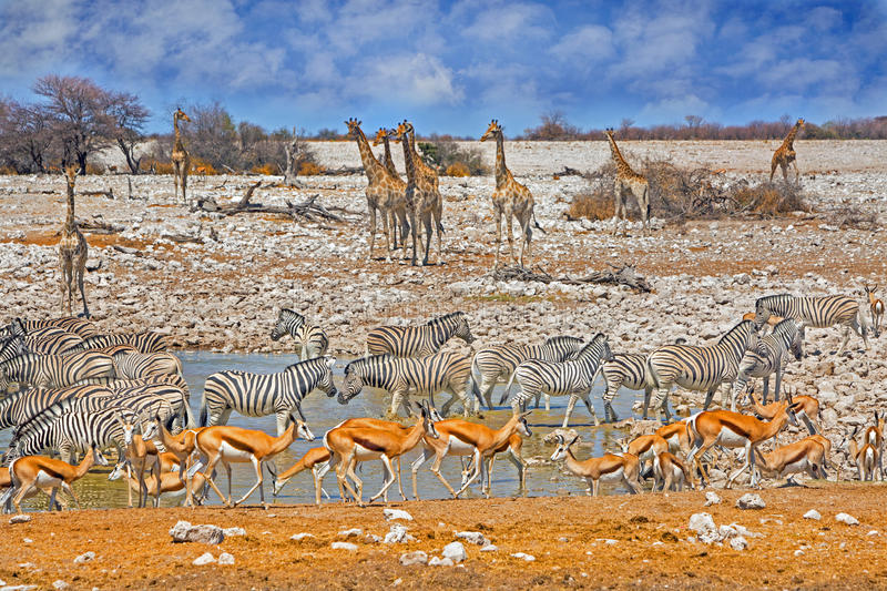 A Vibrant waterhole in Etosha. Many animals around a vibrant waterhole in Etosha with Giraffes, springbok and Zebra and with a bright blue cloudy sky stock photo