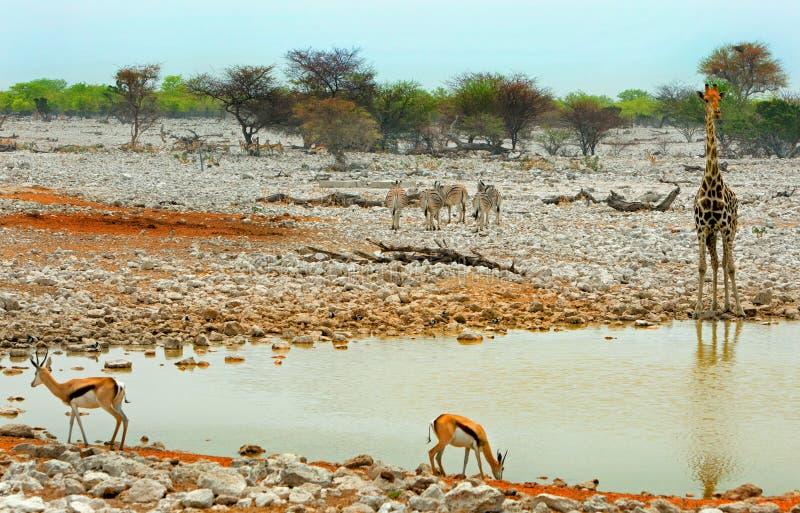 A vibrant waterhole in Etosha national park. A busy waterhole with giraffe, zebra & springbok stock image