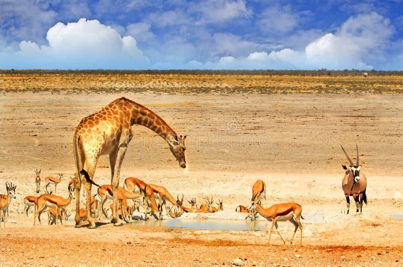 A vibrant waterhole in Etosha national park with giraffe, oryx and springbok. Etosha national park famous for it's vibrant waterholes with giraffe, gemsbok, oryx royalty free stock image