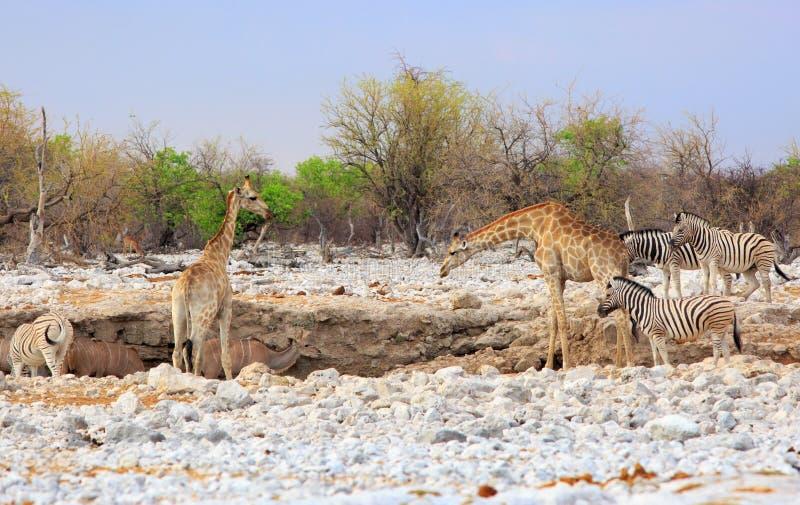 A vibrant waterhole with Giraffe, Zebra, Kudu royalty free stock photography