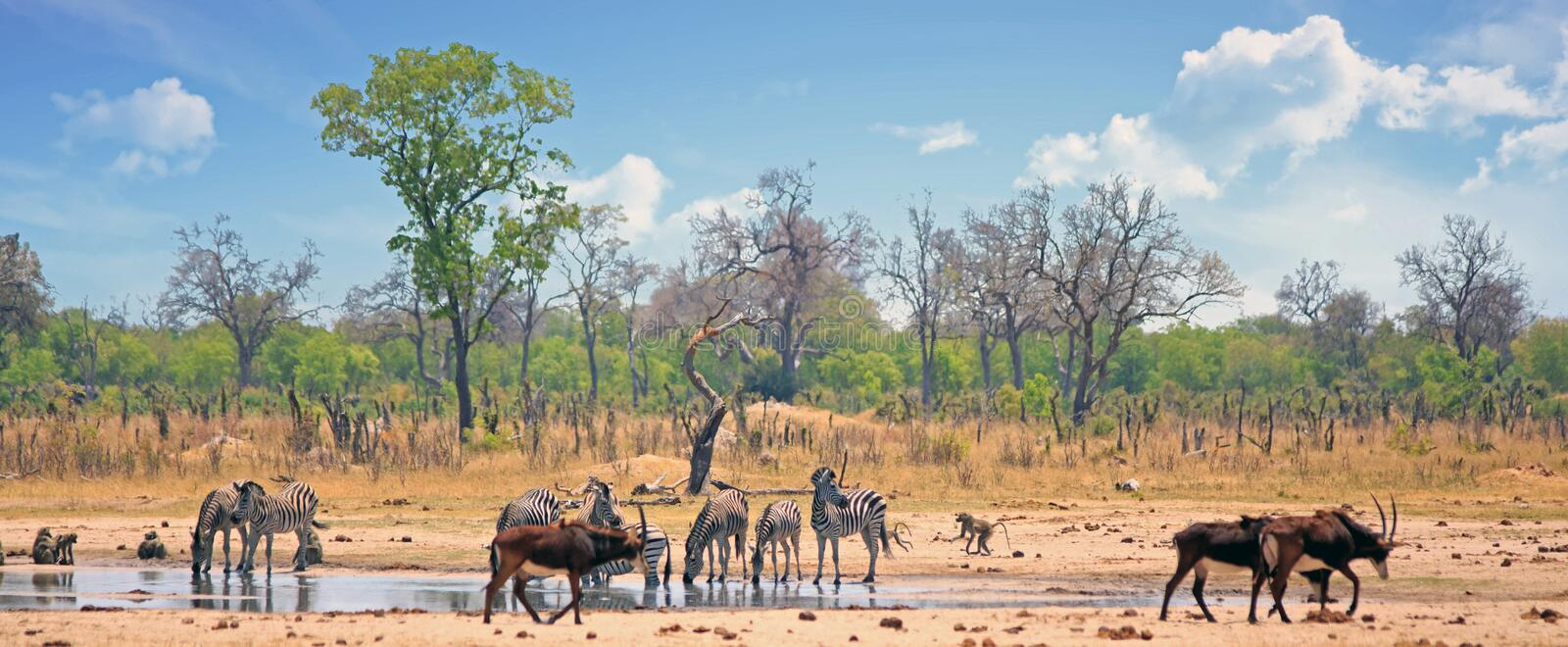 A vibrant waterhole scene with Sable Antelopes and Giraffe with a blue cloudy sky in Hwange stock photography
