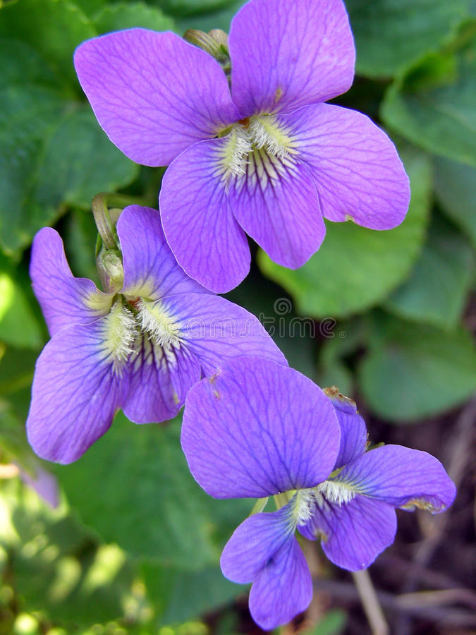 Free Vibrant Wild Violets Royalty Free Stock Photo - 33682155