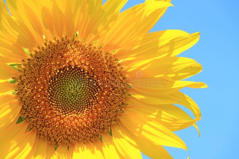 Vibrant Yellow Full Blooming Sunflower on Background of Blue Sky. Nature texture background agriculture annuus asia beautiful beauty blossom blurred botanic stock photos
