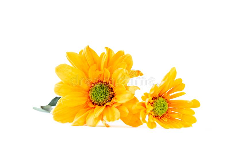 Vibrant yellow Gerbera Daisy flowers on white background stock image