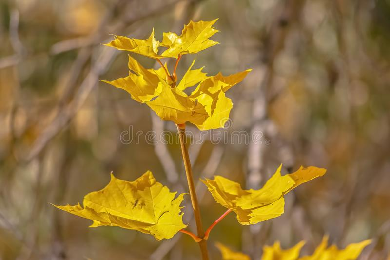 Vibrant yellow leaves basking in the sunlight royalty free stock photos